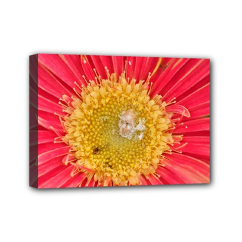 A Red Flower Mini Canvas 7  X 5  (framed) by natureinmalaysia