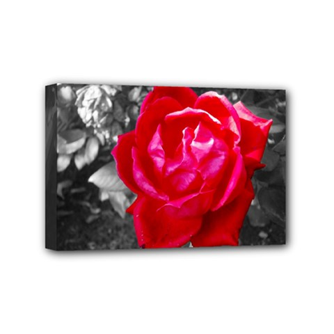 Red Rose Mini Canvas 6  X 4  (framed) by jotodesign