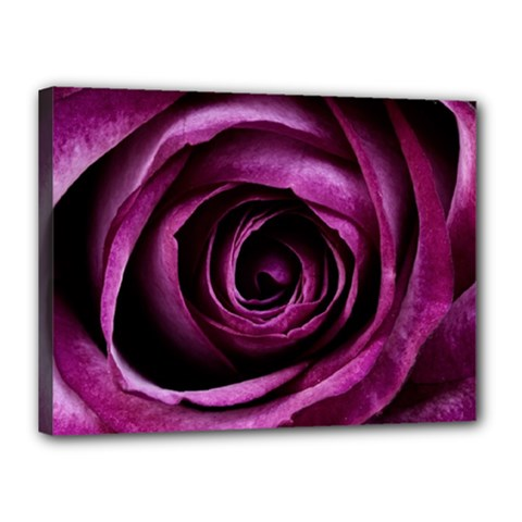 Deep Purple Rose Canvas 16  X 12  (framed)