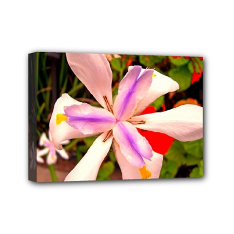 African Iris Mini Canvas 7  x 5  (Framed) by sirhowardlee