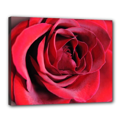 An Open Rose Canvas 20  X 16  (framed) by bloomingvinedesign