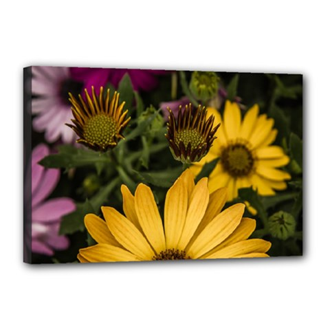 Beautiful Colourful African Daisies  Canvas 18  X 12  by OZMedia
