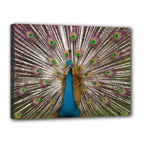Indian Peacock Plumage Canvas 16  X 12  by Simbadda