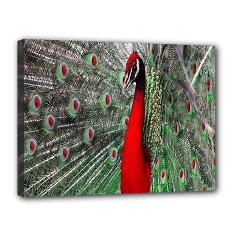 Red Peacock Canvas 16  X 12  by Simbadda