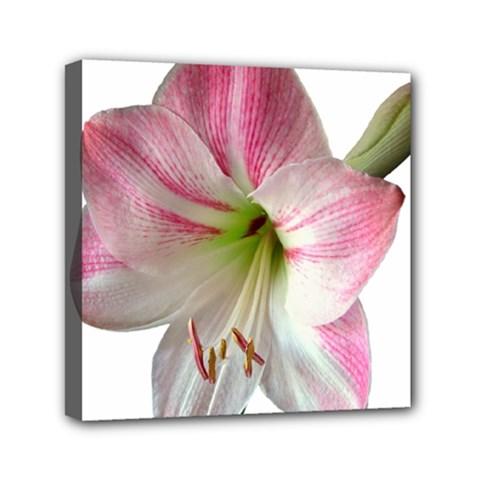 Flower Blossom Bloom Amaryllis Mini Canvas 6  X 6  by Nexatart