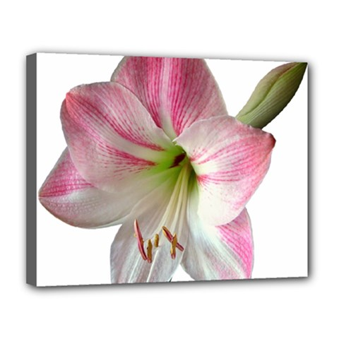 Flower Blossom Bloom Amaryllis Canvas 14  X 11  by Nexatart