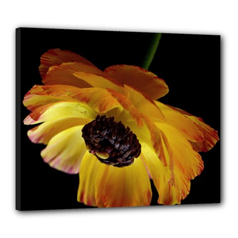 Ranunculus Yellow Orange Blossom Canvas 24  X 20  by Nexatart
