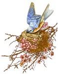 Bluebird in Nest