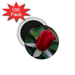 Sallys Flowers 032 001 1 75  Button Magnet (100 Pack) by pictureperfectphotography