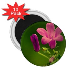 Campanula Close Up 2.25  Button Magnet (10 pack)