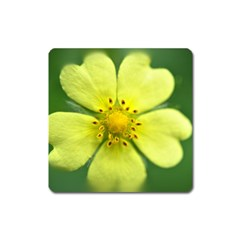 Yellowwildflowerdetail Magnet (square) by bloomingvinedesign