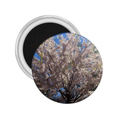 Cherry Blossoms Tree 2 25  Button Magnet by DmitrysTravels