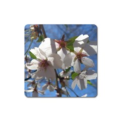 Cherry Blossoms Magnet (Square) by DmitrysTravels