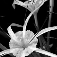 Exotic Black And White Flowers Magic Photo Cubes by timelessartoncanvas