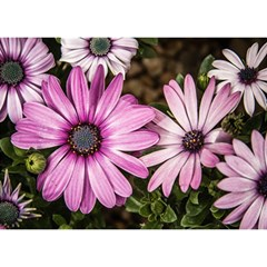Beautiful Colourful African Daisies  Birthday Cake 3d Greeting Card (7x5)  by OZMedia