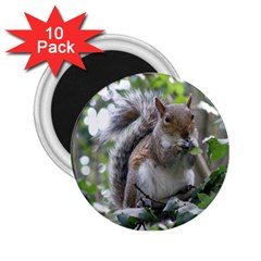 Gray Squirrel Eating Sycamore Seed 2 25  Magnets (10 Pack)  by GiftsbyNature