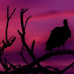 Vultures At Top Of Tree Silhouette Illustration Magic Photo Cubes by dflcprints