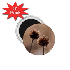 Withered Globe Thistle In Autumn Macro 1 75  Magnets (10 Pack)  by wsfcow