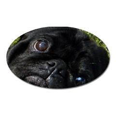 Black Pug Eyes Oval Magnet by TailWags