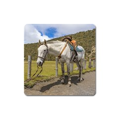 White Horse Tied Up At Cotopaxi National Park Ecuador Square Magnet by dflcprints