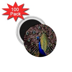 Multi Colored Peacock 1 75  Magnets (100 Pack)  by Simbadda