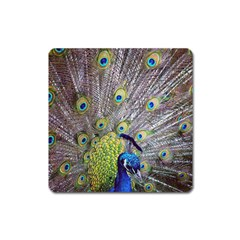 Peacock Bird Feathers Square Magnet by Simbadda