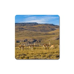 Group Of Vicunas At Patagonian Landscape, Argentina Square Magnet by dflcprints