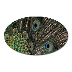 Close Up Of Peacock Feathers Oval Magnet by Nexatart