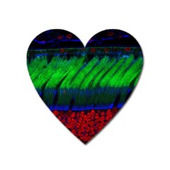 Cells Rainbow Heart Magnet by Mariart