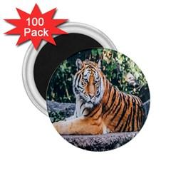 Animal Big Cat Safari Tiger 2 25  Magnets (100 Pack)  by Celenk