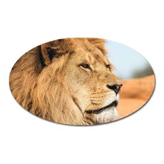 Big Male Lion Looking Right Oval Magnet by Ucco