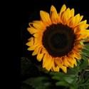Sunflower-Bk