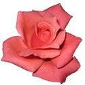 pink-rose-transparent-isolated