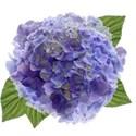 wisteria dreams_hydrangea