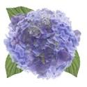 wisteria dreams_hydrangea 2