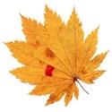 leaf 47