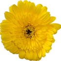 flowers-yellow-1
