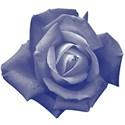Blue_Rose3