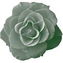 Green_Rose5