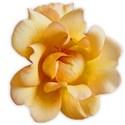 rose yelor