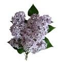 grandmas lilac