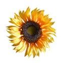 sunflower nice