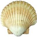 kitc_beach_seashell7