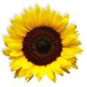 BD_Sunflower_01