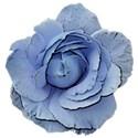 rose blue 2