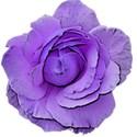 rose purple 2
