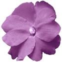 Begonia tubereux 15