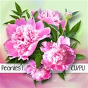 chey0kota_CU Peonies 1_Preplain
