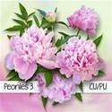chey0kota_CU Peonies 3_Preplain [blog preview]