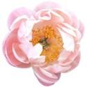 SCD_BlueSkies_flower1